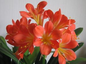 Les fleurs de Clivia miniata